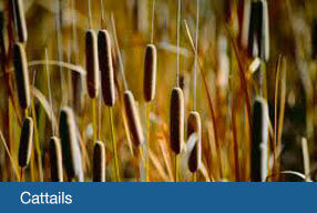 tech-cattails