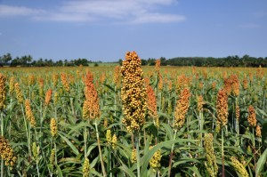 sorghum field in Thailand